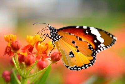 Fototapeta Motyl na pomarańczowy kwiat w ogrodzie