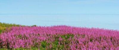 Fototapeta Nadmorska łąka z kwiatami ogniotrwałymi