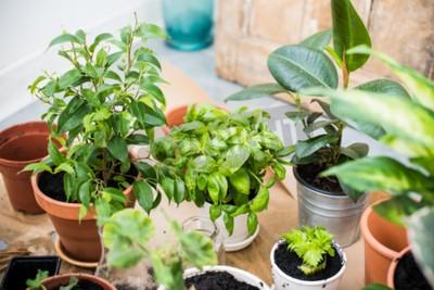 Fototapeta Naturalne rośliny w doniczkach, zielony ogród na balkonie. Miejskie ogrodnictwo, sadzenie domu. Bazylia i seler odrasta.