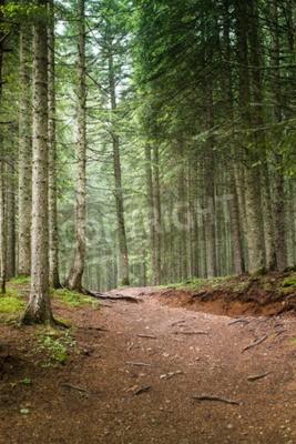 Fototapeta Naturalne Świerk drzew leśnych