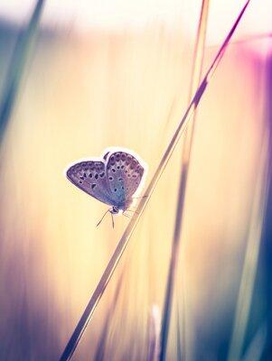 Fototapeta Niebieski motyl na trawie