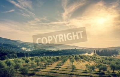 Fototapeta Niebieskie niebo nad oliwy z pola w Toskanii