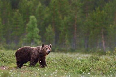 Fototapeta Niedźwiedź brunatny z lasu tle
