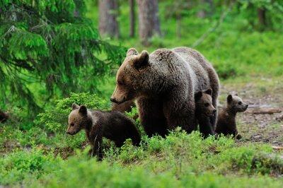 Fototapeta Niedźwiedź brunatny z młodymi w lesie