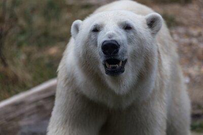 Fototapeta Niedźwiedź polarny
