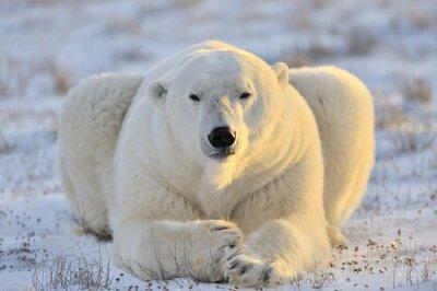 Fototapeta Niedźwiedź polarny leżącego w tundrze.