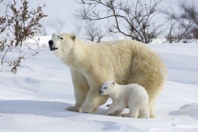 Fototapeta Niedźwiedź polarny z młodymi