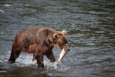 Fototapeta niedźwiedź rybacka