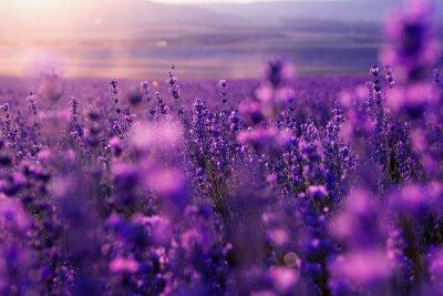 Fototapeta niewyraźne tło lato dzikiej trawy i kwiatów lawendy