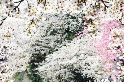 Fototapeta Obraz piękny sakura seasnon w Kyoto, Japonia