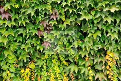 Fototapeta Obraz w tle zbliżenie zielony żyć ogrodzenia pnącze.