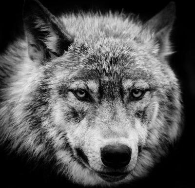 Fototapeta Oczy wilka, czarno-biała głowa zastrzelił wilka.