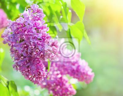 Fototapeta Oddział liliową kwiaty z liści