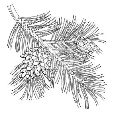 Oddzial Wektora Zarys Szkocki Sosny Lub Pinus Sylvestris Drzewa