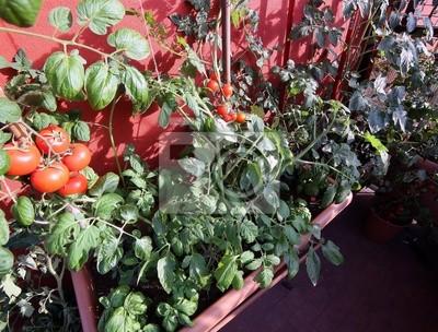 Ogród Warzywny W Dużych Donicach Na Tarasie I Czerwonych Pomidorów
