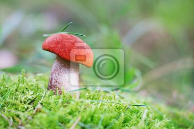 osika grzyby lub pomarańczowo-cap borowikami w lesie jesienią mech