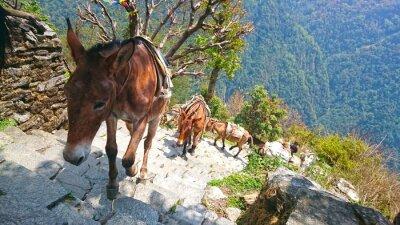 Fototapeta osłów górskich w Nepalu
