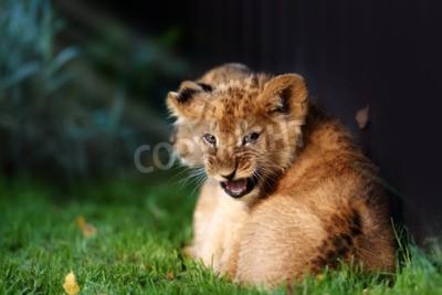 Fototapeta Ostrzegaj małego lwa z brązowym futrem w outdoore