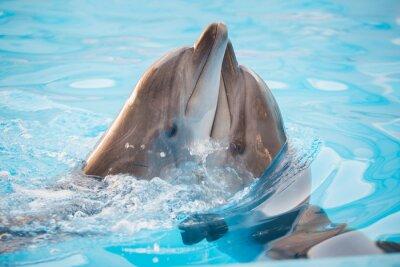 Fototapeta pair of dolphins dancing in water
