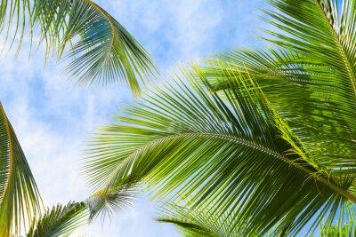 Fototapeta Palmy kokosowe liście
