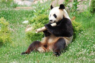 Fototapeta Panda 1