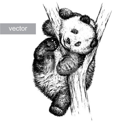 Fototapeta Panda Bear ilustrację graweruje