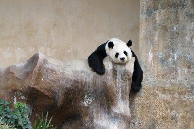Fototapeta Panda Bear odpoczynku