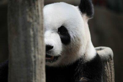 Fototapeta Panda Bear portret