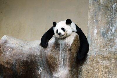 Fototapeta panda bear resting