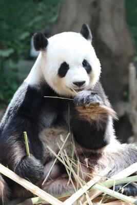 Fototapeta Panda ponosi jedzenia bambusa