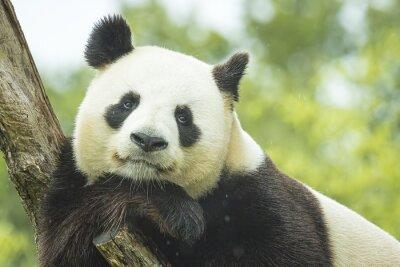Fototapeta Panda Portret