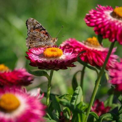Fototapeta papillon