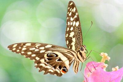 Fototapeta papillon sur fleur de Bougainvillee