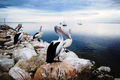 Fototapeta Pelikany, Kangaroo Island, Australia