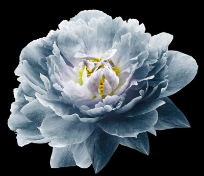 Fototapeta Peony flower blue on the black isolated background with clipping path. Nature. Closeup no shadows. Garden flower.