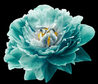 Fototapeta Peony flower turquoise on the black isolated background with clipping path. Nature. Closeup no shadows. Garden flower.