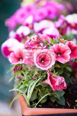 Fototapeta petunia flowers