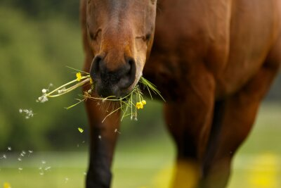 Fototapeta Pferdemaul frißt