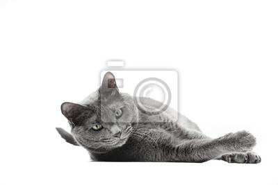 Pi Kny Szary Kot Rasy Rosyjski Niebieski Le Yi Patrzy W Dó