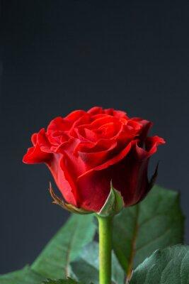 Fototapeta Piękna czerwona róża