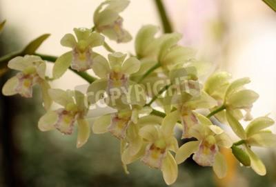 Fototapeta Piękna orchidea w Tajlandii