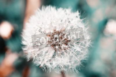 Fototapeta Piękne Dandelion z nasion, z bliska