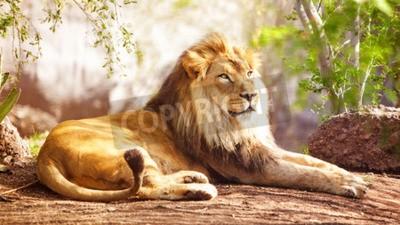 Fototapeta Piękne duże afrykańskiego lwa ustanawiające z drzew w tle