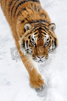 Fototapeta Piękne dzikie Tygrys syberyjski na śniegu