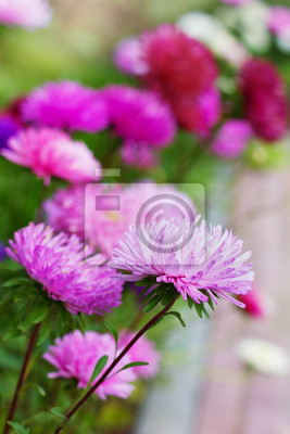 Fototapeta piękne kolorowe kwiaty aster jesień