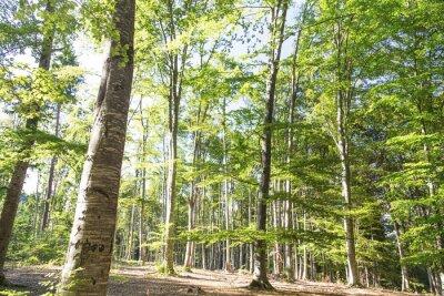 Fototapeta Piękne malownicze lasu bukowego lato
