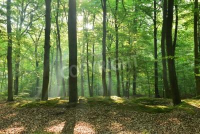 Fototapeta Piękne moring w lesie bukowym