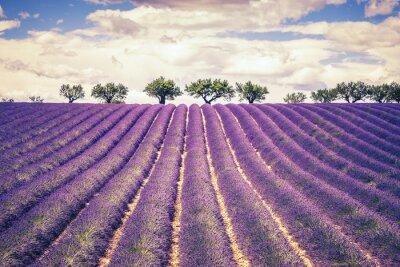 Fototapeta Piękne pola lawendy