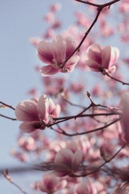 Fototapeta Piękne różowe kwiaty magnolii