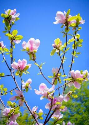 Fototapeta Piękne Różowe kwiaty magnolii na tle błękitne niebo. Wiosna Kwiecista